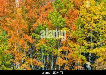 Quaking Aspens (Populus tremuloides), Autumn Colors, Grand Tetons NP, WY, USA, par Dominique Braud/Dembinsky photo Assoc