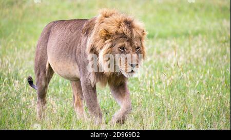 Un grand lion mâle est en marche dans la savane.