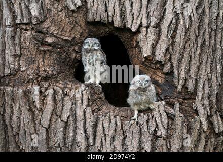 Petite chouette (Athena noctua) perchée dans un arbre creux, en Angleterre