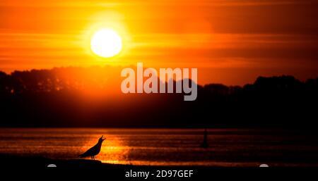Goéland argenté (Larus argentatus) appelant sur la côte au lever du soleil, Bretagne, France
