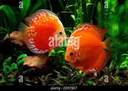 Discus (Symphysodon aequifasciatus) sang de pigeon rouge dans l'aquarium