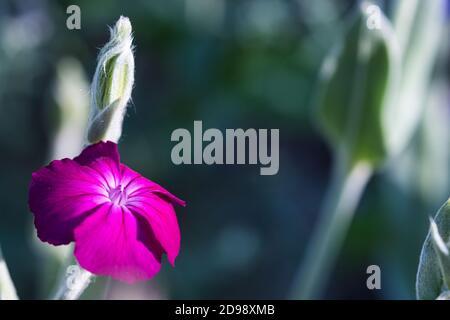 Rose campion une fleur rose rose vif magenta gros plan contre arrière-plan flou de couleur fraîche avec des plantes argentées et gris laineux feuilles et tiges