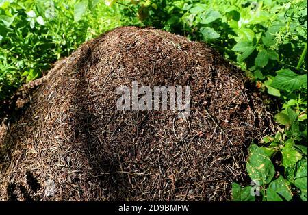 Grande colline de fourmis rouges entourée de plantes vertes.