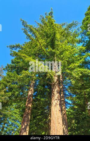 séquoias californiens matures s'élevant dans le ciel. Photographié dans la forêt de Whakarewarewa, Rotorua, Nouvelle-Zélande
