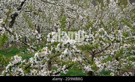 Cerisiers en fleurs près de Winningen dans la vallée de la Moselle, Rhénanie-Palatinat, Allemagne