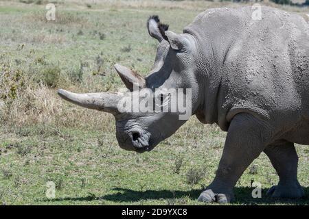 Afrique, Kenya, plateau de Laikipia, District frontalier du Nord. OL Pejeta Conservancy, qui abrite le rhinocéros blanc du Nord en danger critique d'extinction. Il y en a