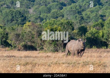 Afrique, Kenya, plateau de Laikipia, District de la frontière du Nord, OL Pejeta Conservancy. Rhinocéros noirs (SAUVAGES : Diceros bicornis) alias à lèvres accrochantées, Critica