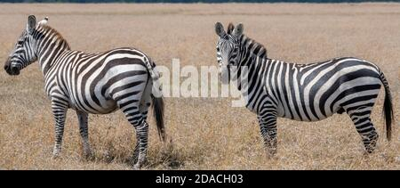 Afrique, Kenya, plateau de Laikipia, District de la frontière du Nord, OL Pejeta Conservancy. Zèbre sauvage de Burchell (Equus quagga burchellii)