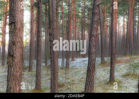 Forêt de pins avec un petit sapin légèrement recouvert de une neige