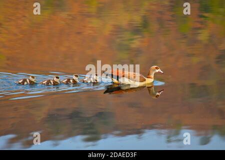 Oies égyptiennes (Alopochen aegyptiaca) nageant sur un barrage avec des oisons, Dragon Peaks, Drakensberg, Afrique du Sud Banque D'Images