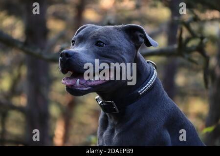 Gros plan de Side Portrait de Smiling Staffordshire Bull Terrier dans la forêt. Tête de Happy Blue Staffy dans la nature.