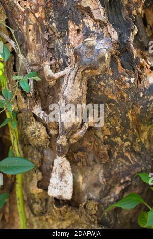 Gecko à queue de feuille de mousse (Uroplatus sikorae), Madagascar Banque D'Images