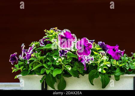 Pétunia violet fleurit dans un pot blanc sur un fond de mur sombre. Banque D'Images