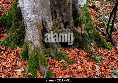 Gros plan de la mousse qui pousse sur les racines de hêtre.