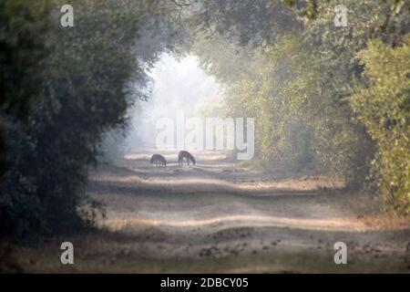 Chacal d'or dans la canopée de la forêt de foggy, Canis aureus, Bharatpur, Rajasthan, Inde