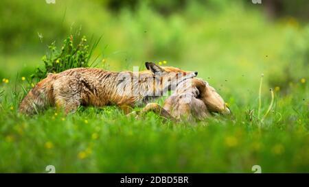 Renard rouge adulte, vulpes vulpes, tenant le cerf-rodé mort, le capreolus capreolus, doe par le cou sur la prairie avec herbe verte en été. Prédateur de mammifères avec tuer.