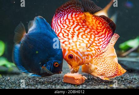Poissons colorés des spièces Symphysodon discus dans l'aquarium se nourrissant sur le cube de viande de coeur de vache.