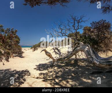 Grand à genévrier (Juniperus macrocarpa) arbre sur une plage de sable avec des arbres et la mer au loin. Chrysi island, Ierapetra, Grèce