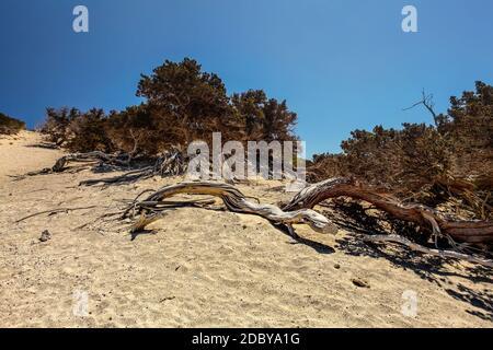 À gros fruits secs genévrier (Juniperus macrocarpa) des arbres sur la côte de sable avec ciel bleu profond en arrière-plan. Chrysi island, Ierapetra, Grèce