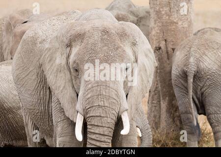Troupeau d'éléphants du Parc National de Serengeti, Tanzanie, Afrique. La faune africaine