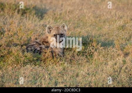 Afrique, Kenya, plateau de Laikipia, District de la frontière du Nord, OL Pejeta Conservancy. Hyène tachetée jeune (SAUVAGE : crocuta crocuta) dans l'habitat de l'herbe.