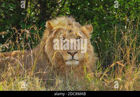 Portrait de lion masculin, orienté vers l'avant avec une petite manie, couché au soleil derrière une grande herbe. Panthera Leo. Réserve nationale de Maasai Mara, Kenya, Afrique