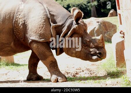 Wild Rhinoceros regardant vers l'avant au zoo indien en position de marche