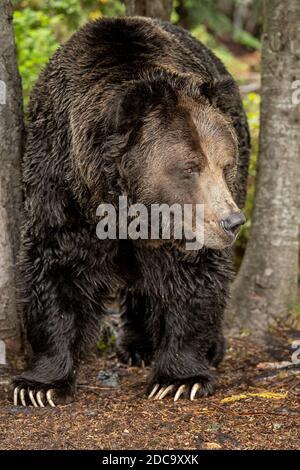 Un grizzli mâle (Ursus arctos horribilis) marche dans les bois le long de la rivière à la recherche de Frayer du saumon dans la côte de la Colombie-Britannique Banque D'Images