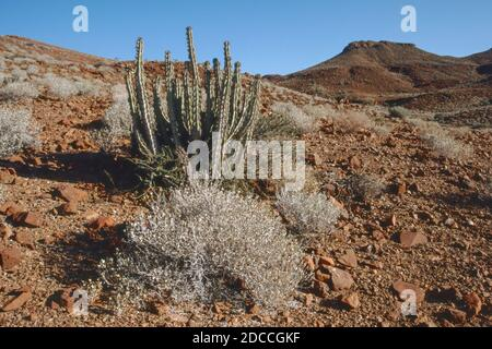Euphorbia damarana dans les montagnes Grootbergh de Damaraland en Namibie