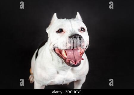 Gros plan sur le visage souriant et amusant de la jeune femme chien taureau américain de couleur noir et blanc