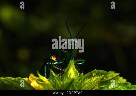 Vue rapprochée du coléoptère des joyaux Chrysochroma fulminans