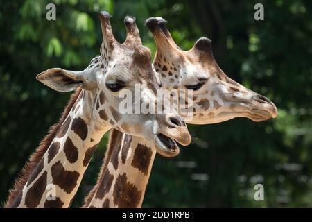Melman et Mandela sont deux girafes réticulées dans le zoo de la vallée de l'Emporer à Port of Spain, Trinidad.