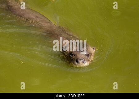 Une loutre géante ou une loutre de rivière géante nageant au Suriname.