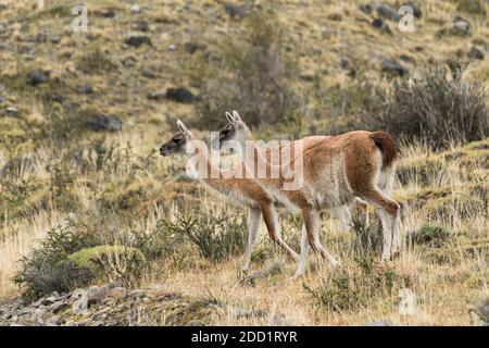 Deux guanacos sauvages dans le parc national Torres del Paine au Chili.