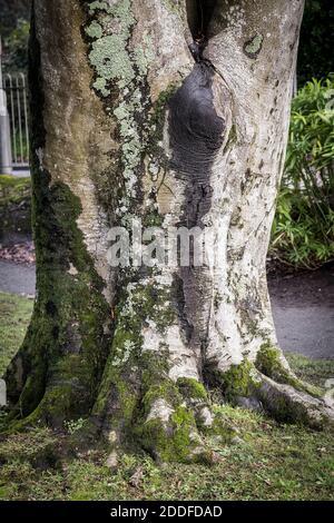 Mousse poussant sur un grand tronc d'un arbre de Hêtre de cuivre mature - Fagus sylvatica.