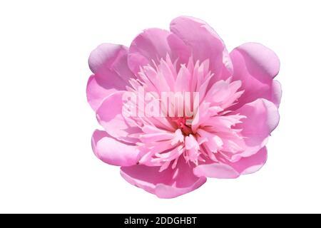 Grande pivoine rose. Fleur aux pétales roses. Isolé sur un fond blanc.
