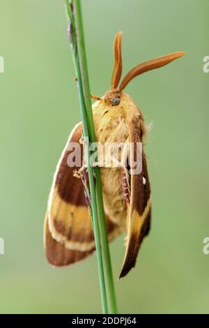 Lemoniid Moths (Lemoniiidae), se trouve sur une lame d'herbe, Allemagne, Basse-Saxe, Goldenstedter Moor