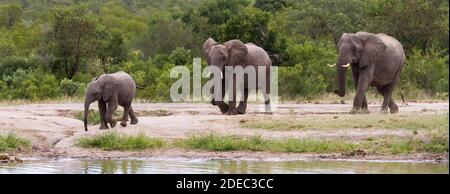 Panorama de la famille des éléphants d'afrique venant à une rivière pour boire dans le parc national Kruger, Afrique du Sud avec fond vert luxuriant de brousse