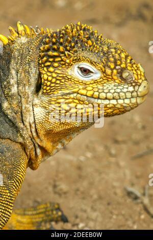Galapagos Land Iguana, Conolophus subscristatus, Parc national des Galapagos, Îles Galapagos, site du patrimoine mondial de l'UNESCO, Équateur, Amérique