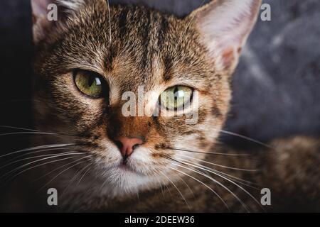 Chaton avec de beaux yeux. Portrait en gros plan d'un chaton aux yeux verts.