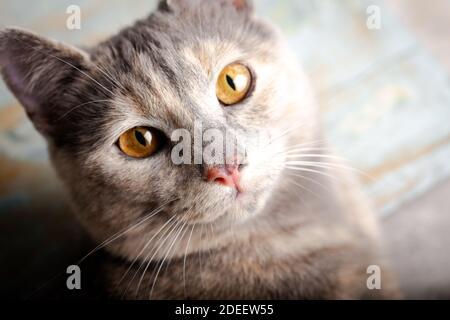 Chaton avec de beaux yeux. Portrait en gros plan d'un chat de couleur pêche aux yeux ambrés.