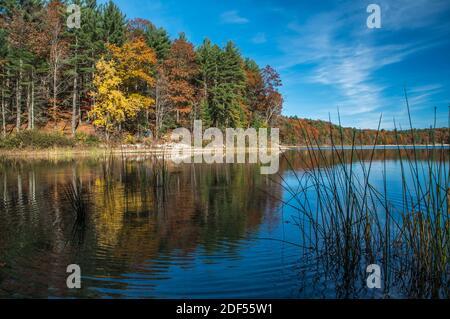 Roseaux en premier plan à Walden Pond, Lexington, Massachusetts, États-Unis