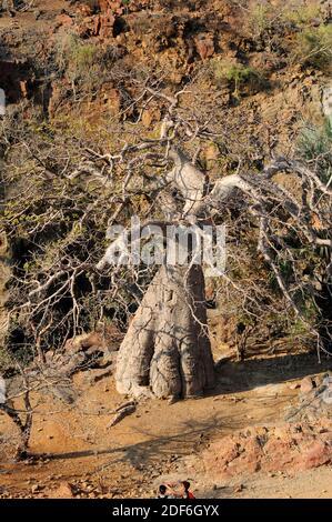 Baobab (Adansonia digitata). Cette photo a été prise au nord de la Namibie sur les rives de la rivière Kunene, sur les chutes d'Epupa.