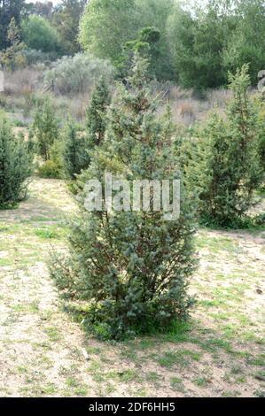 Le genièvre à gros fruits (Juniperus macrocarpa ou J. oxycedrus macrocarpa) est un arbuste originaire des dunes côtières de sable de la région du nord de la Méditerranée