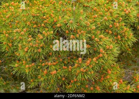 Le pin d'Alep (Pinus halepensis) est un conifères originaire du bassin méditerranéen. Il est particulièrement abondant dans l'est de l'Espagne. Fleurs mâles.