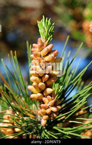 Le pin de Monterey (Pinus radiata) est un conifères originaire du centre de la Californie et des côtes de la Basse-Californie. Fleurs et feuilles mâles.