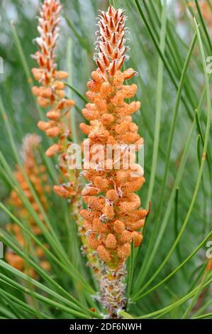 Le pin maritime ou le pin à grappes (Pinus pinaster) est un conifères originaire du bassin méditerranéen, spécialement de la péninsule ibérique. Fleurs mâles