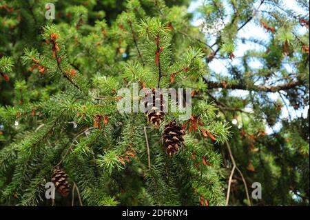 Le sapin de Douglas ou le pin de l'Oregon (Pseudotsuga menziesii) est un conifères originaire de l'ouest de l'Amérique du Nord. Cônes, fleurs mâles et feuilles. Ceci