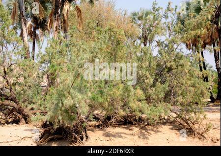 Le tamarisque sauvage (Tamarix usneoides) est un arbuste à feuilles persistantes ou un petit arbre originaire de l'Afrique australe. Cette photo a été prise à Epupa Falls, Namibie.