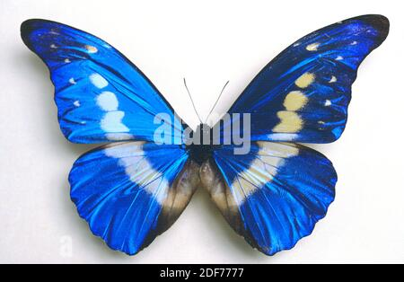 Helena morpho (Morpho rhéenor helena) est un papillon originaire d'Amazonie. Adulte, côté dorsal. Banque D'Images